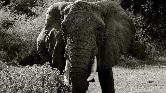 elephant-687335_1920