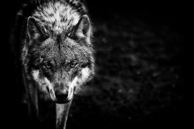 117623204_wolf_362602c